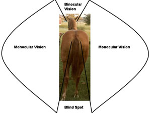 Diagram showing binocular vision dirictly infront of horse, monocular vision on both sides of the horse, and a blind spot directly behind the horse.