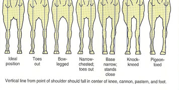 illustration showing front horse legs wih ideal position; toes out; bow-legged; narrow-chested, toes out; base narrow, stands close; knock-kneed; and pigeon-toed (from left to right)