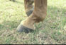 Figure 16: Horse with (a) ideal pastern angle, (b) pasterns with