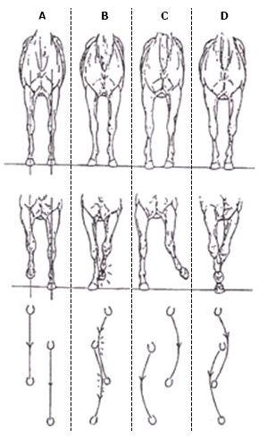 illustration of front legs from four horses showing how they moved based on their structure.