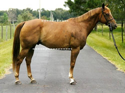 photo of horse with good conformation; the topline is shorter than the underline.