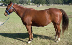 Photo of horse with poor conformation (a long, weak back); the topline and underline are similar lengths.