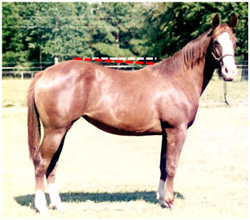 photo of a 'downhill' horse with withers much lower than hips.