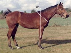 Figure 5: photo of horse with more ideal shoulder, with an approximately 45-degree angle.