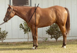 Photo of horse with a much steeper, straighter shoulder.