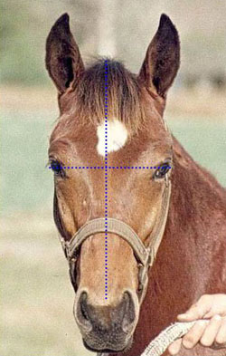 Photo of horse with ideal head.