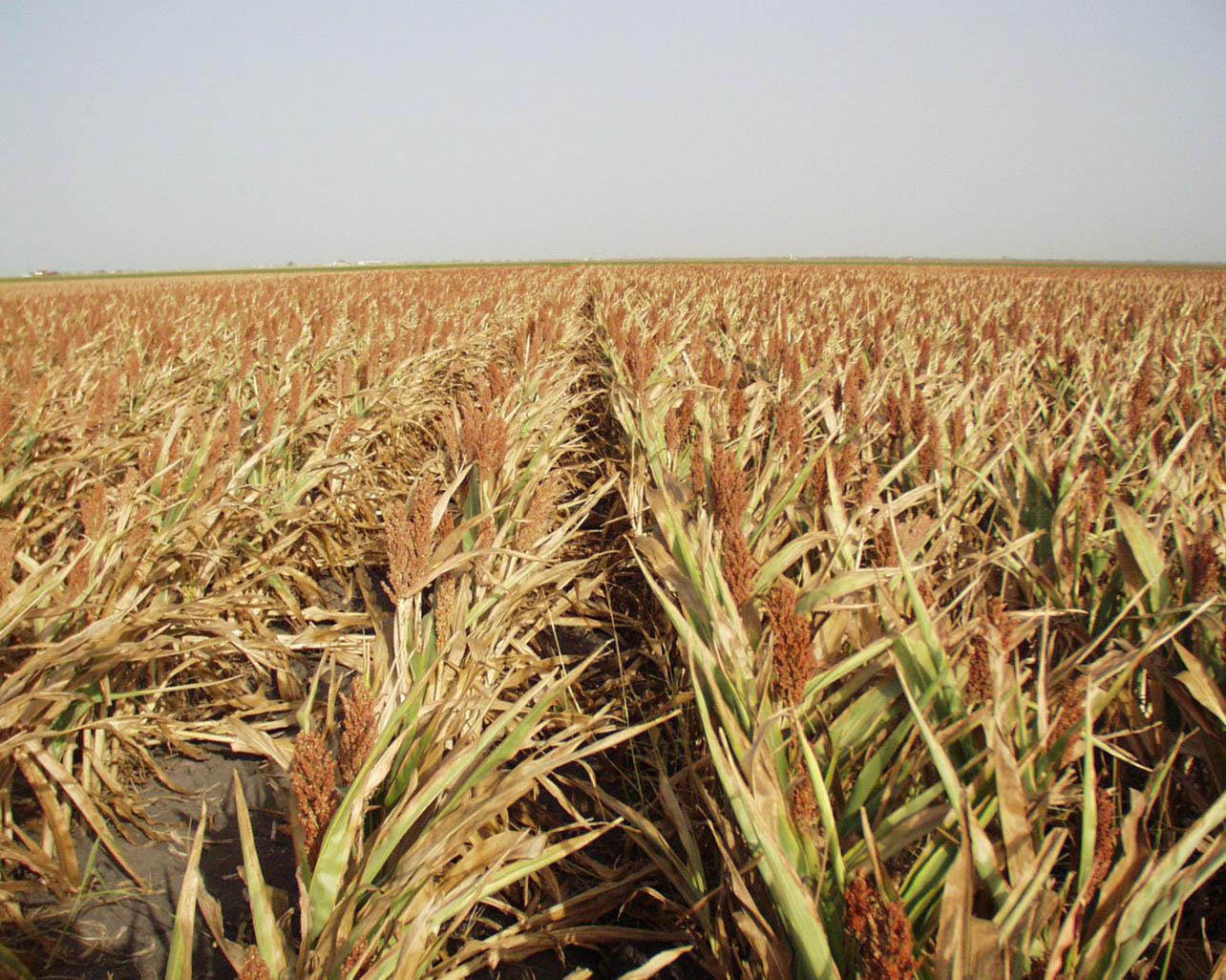 parched crops