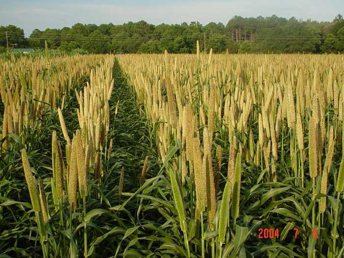 Pearl millet in flowering stage.