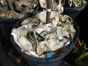 Figure 3. Crumpled newspaper may be used as a mulch.