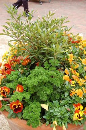 Figure 3. This mixed container uses a combination of winter annual plants (parsley and pansies) with the evergreen shrub Gardenia ?Frostproof.? The winter annuals will be replaced in spring with summer annuals to provide continual color.