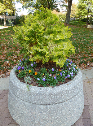 Figure 4. In this container, pansies (an annual plant) are used to fill space before the perennial variegated English ivy becomes established and fills the container.