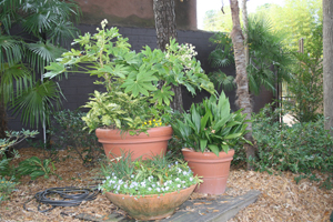 Figure 5. Fine-textured Liriope spicata,