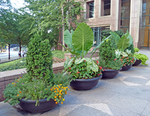 Figure 7. The use of height in mixed planters can effectively create a mature garden appearance.