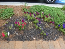 Mixed planting and improper crop rotation in two consecutive years. The petunias are exhibiting signs of disease in the first year (top photo) as well as the second year (bottom photo).