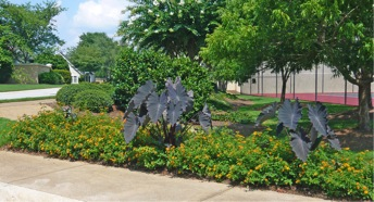 Figure 4. A mixed landscape planting in three consecutive years showing proper crop rotation. Left photo: first year, dragon wing begonias and alternanthera; middle photo: second year, lantana and elephant ears; right photo: third year, begonia, petunia and salvia.