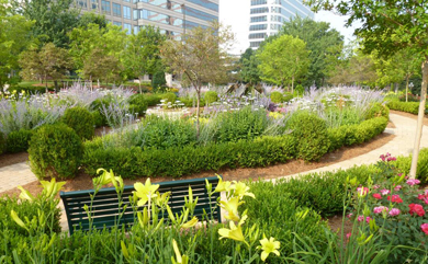 Figure 10. Perennials are skillfully interspersed among shrubs and trees in this commercial landscape in Atlanta. Daylily ?Happy Returns? (behind bench), Russian sage (lavender blooms) and shasta daisy (white blooms) are surrounded by boxwood hedge.