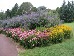 Figure 13. Top: Panicum ?Heavy Metal? provides a backdrop for Rudbeckia fulgida; middle: a complementary three-color theme, Vitex (blue), Echinacea (pink) and Rudbeckia (yellow), provides drama and grabs the viewer?s attention; bottom: on a smaller scale, the same blue- red-yellow theme works well with blue and red salvias and yellow tarragon.