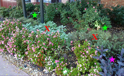 """Figure 15. Right the plant in the right place. Top: Stachys, lamb?s ear and Coreopsis (red """"x?) are full-sun plants struggling under the heavy shade in this bed. Hosta (green star) is a proper choice, while purple heart (Tradescantia, purple star) can tolerate shade but for intense foliage color needs more sun. Crocosma exhibits fewer blooms in partial shade (bottom left) compared to no shade (bottom right). Plantings are of the same age and cultivar located throughout one commercial account."""