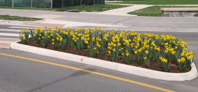 Figure 17. Daffodils are interplanted with Rudbeckia in this island. After the daffodil blooms fade, their foliage needs to remain to feed the underground bulb. During this time the Rudbeckias screen the daffodil foliage.
