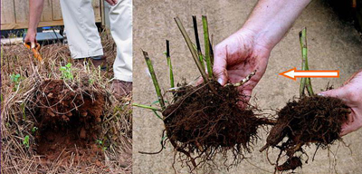 Figure 22. Dividing perennials with fibrous roots (arrow indicates growing point).