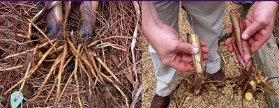 Figure 23. Dividing perennials with rhizomes involves cutting the underground stem into sections.