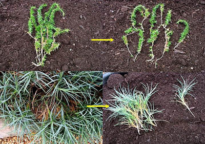 Figure 25. Dividing spreading perennials involves cutting the creeping stems into sections and replanting them.