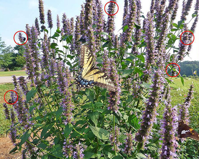 Figure 26. Along with the beautiful Tiger Swallowtail butterfly and the Silver Spotted Skipper, at least 5 bumblebees (circled in red) are enjoying the blooms of this Agastache.