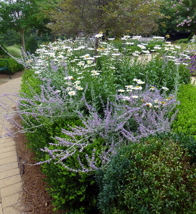 Russian sage and shasta daisy surrounded by boxwood hedge, which provides support for the tall-stemmed perennials.