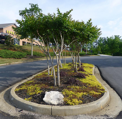 Lysimachia ?Aurea? with dwarf Loropetalum (burgundy foliage) provide good colors, contrast and evergreen groundcover; the small size of the perennials works well with the crape myrtles to provide good visibility for traffic.