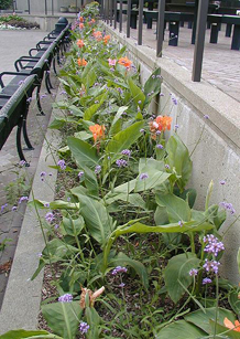 Canna interplanted with Brazilian verbena. The aggressive Canna is constrained by the narrow concrete bed, while the tall flower stems of the Verbena offer visual interest and contrast to the coarse Canna foliage.