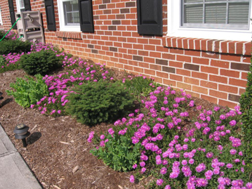 Ice plant (pink flowers), Sedum ?Autumn Joy? and bird nest Picea. The drought-tolerant evergreen perennials are a good choice for a South-facing bed, and the short habit allows for clearance from the windows; also notice the wavy pattern formed by the ice plant.