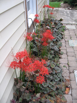 Heuchera interplanted with Lycoris (red flower); both work well in the narrow bed and against the white siding.
