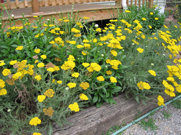 Yarrow, shasta daisy and Miscanthus 'Gold Bar' work