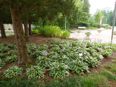 A single-species planting of Hosta ?Patriot? under evergreen Japanese cedar.