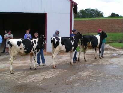 Figure 10. Example of heifers lined up nose to tail. Note that the second heifer in the line-up did not leave adequate space between herself and the first heifer.