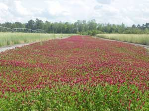 Crimson Clover cover crop.