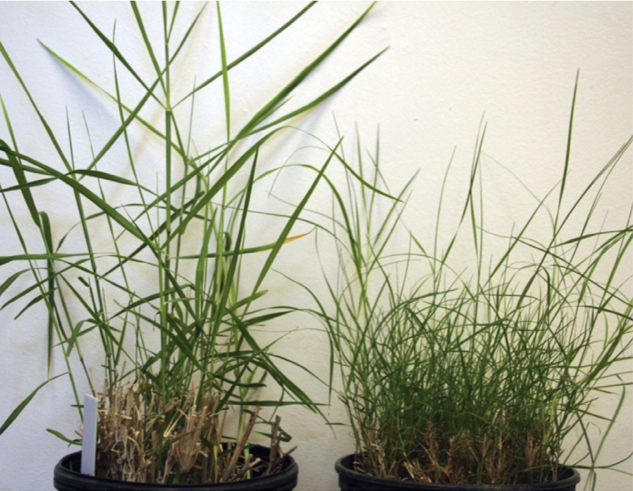 Bermuda stargrass hybrids
