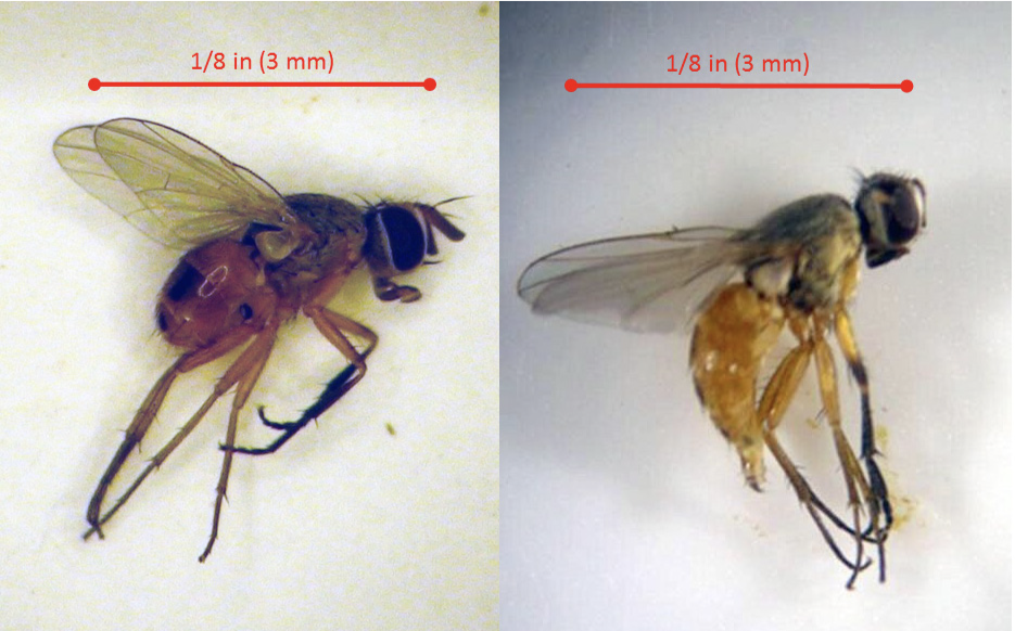 Adult male and female bermudagrass tem maggot flies