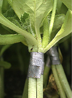 Watermelon grafted onto Cucurbita rootstock.
