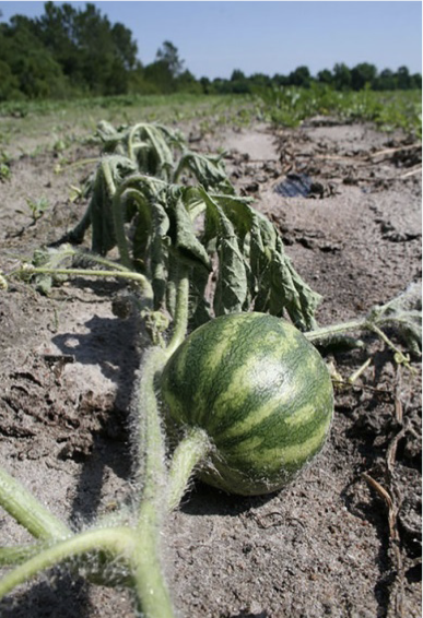 Wilting of an individual watermelon runner