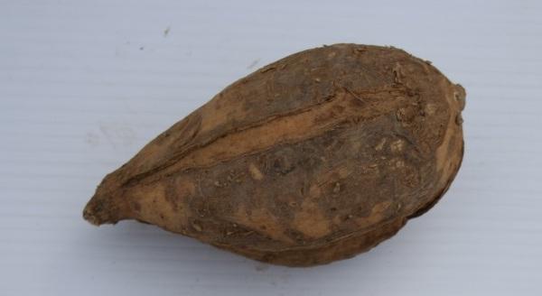White-fleshed sweet potato