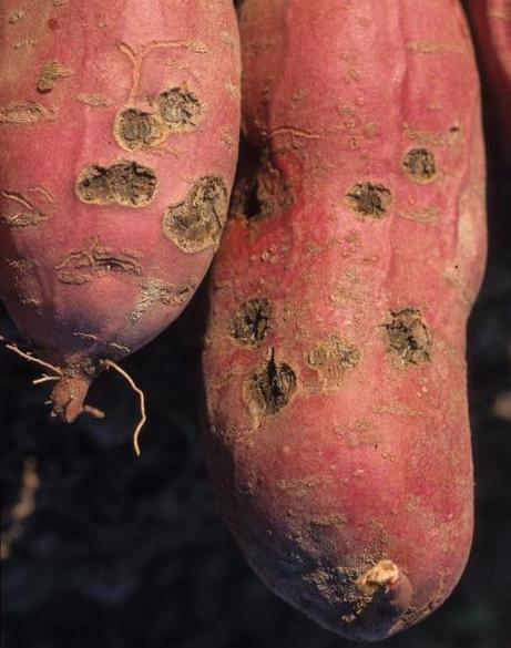 Sweet potato with crater-shaped rot