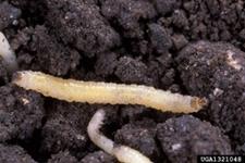 Cucumber beetle larva