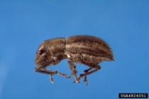 Whitefringed beetle adult
