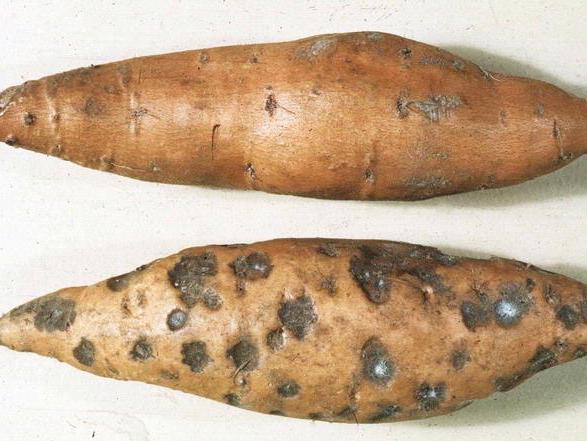 Black rot on sweet potato