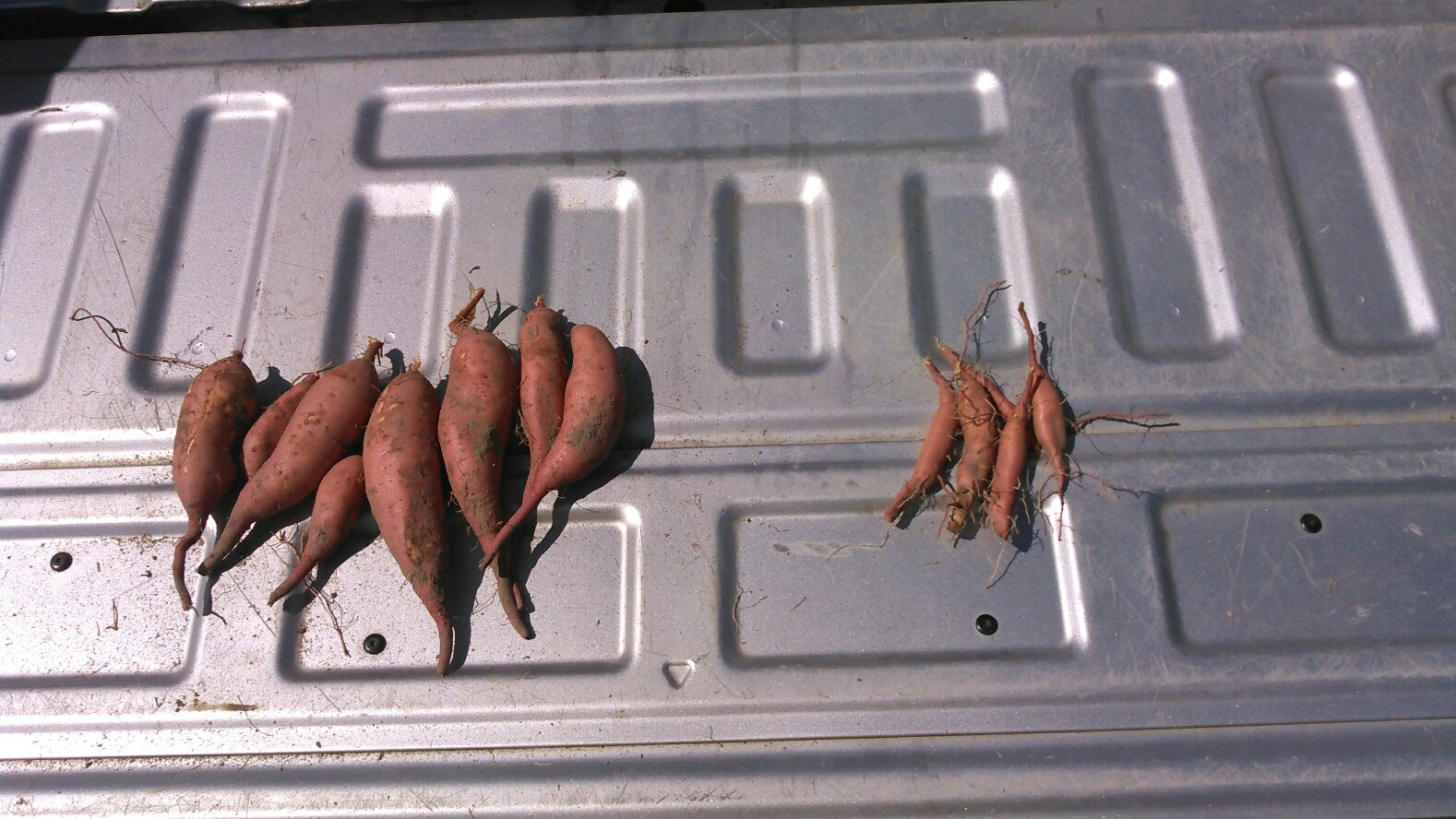 Some sweet potatoes grown with irrigation and some sweet potatoes grown without irrigation