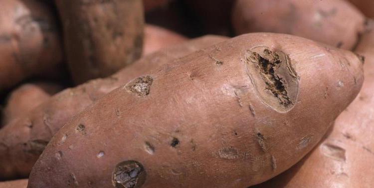 Sweet potato with sunken legions