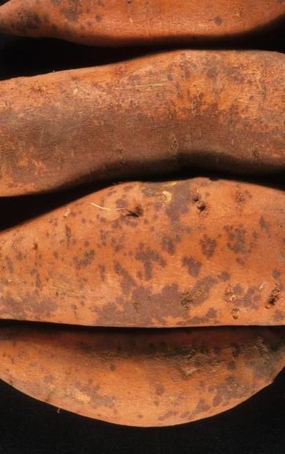 Sweet potato with grayish brown legions