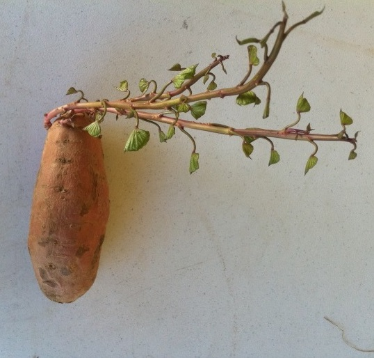 Sweet potato with a shoot at the end