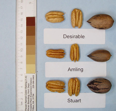 Photo of a desirable pecan, an amling pecan, and a Stuart pecan